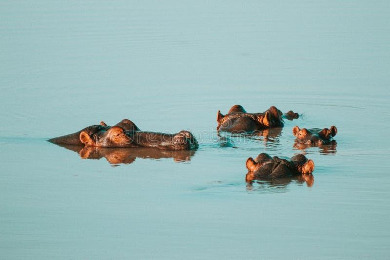 Cuatro hipopótamos que se refrescan apagado en la presa imagen de archivo libre de regalías