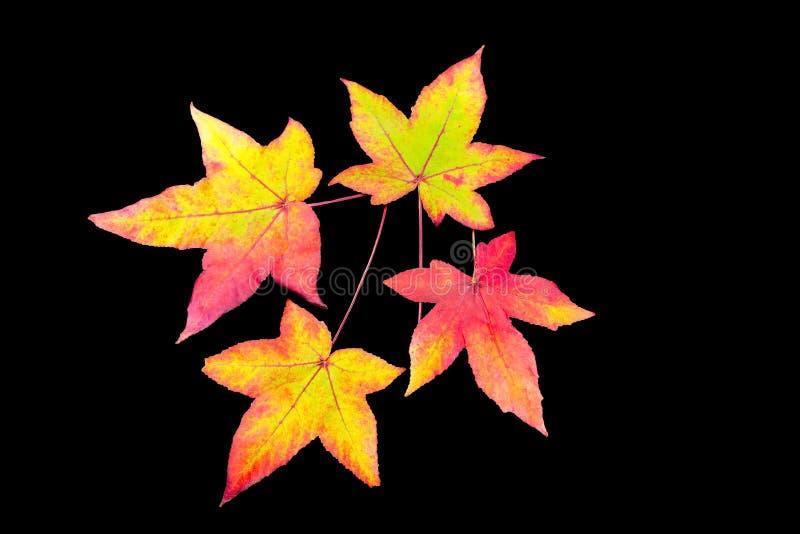 Cuatro hojas de otoño coloreadas en fondo negro fotos de archivo libres de regalías