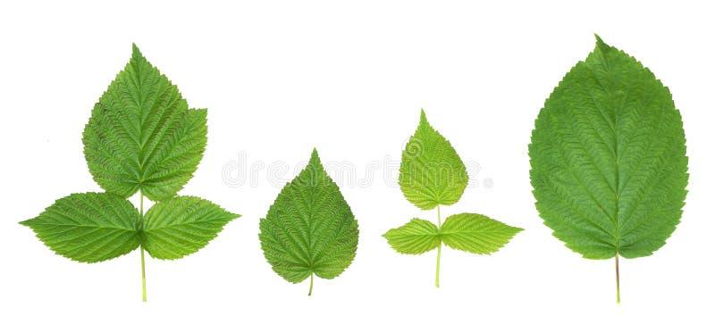 cuatro hojas verdes de la frambuesa aíslan pho natural del fondo blanco imágenes de archivo libres de regalías