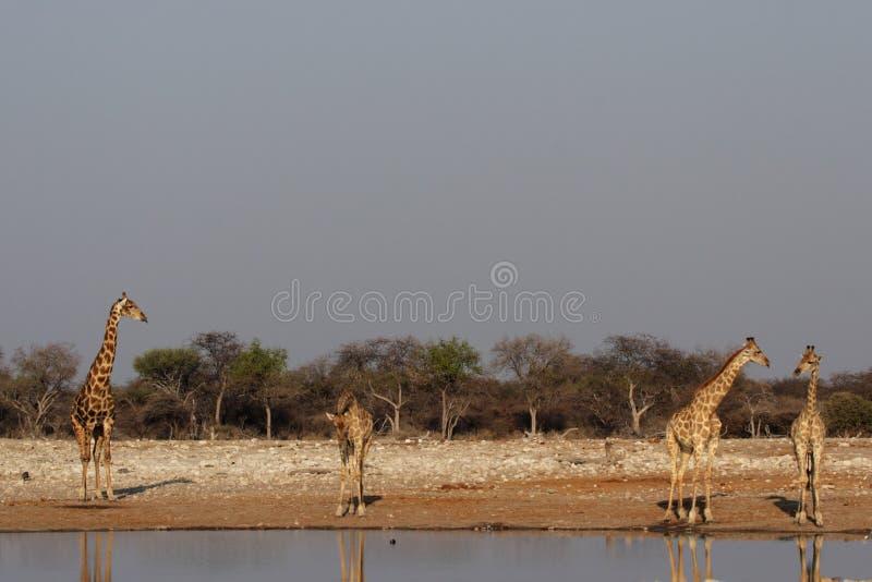 Cuatro jirafas fotografía de archivo