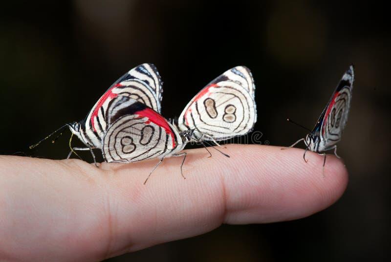 Cuatro mariposas en un finger imagen de archivo libre de regalías