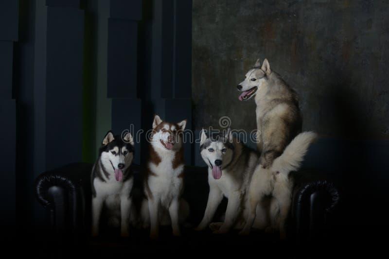 Cuatro modelos - perros de la raza del husky siberiano imagen de archivo libre de regalías