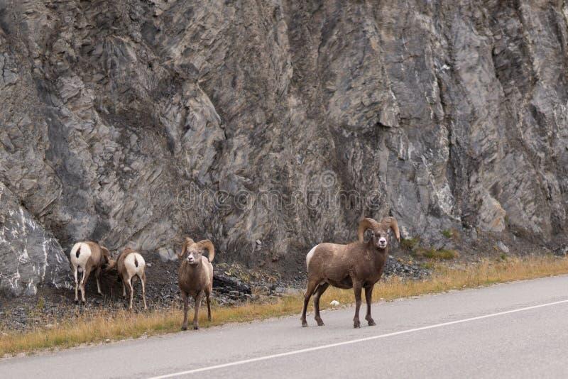 Cuatro ovejas de carnero con grandes cuernos que se colocan en el borde de la carretera en parque nacional de jaspe imagen de archivo
