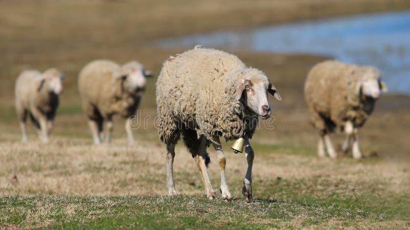 Cuatro ovejas que caminan en el pasto foto de archivo