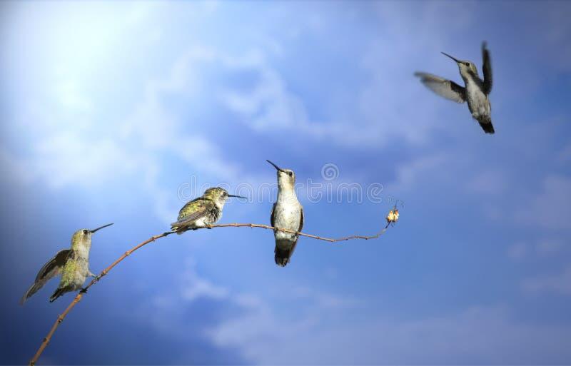 Cuatro pájaros del tarareo en diversas posiciones respecto a una rama contra un cielo azul brillante foto de archivo libre de regalías