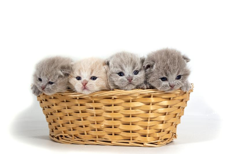Cuatro pequeños gatitos británicos se sientan en una cesta de mimbre Aislado en el fondo blanco foto de archivo libre de regalías