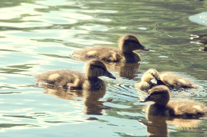 Cuatro pequeños patos que nadan en la charca fotografía de archivo