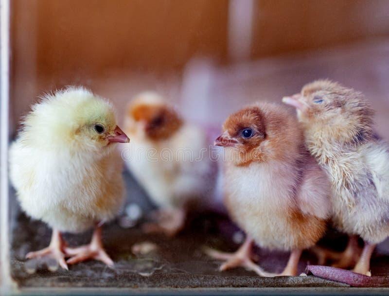 Cuatro pequeños pollos dentro del fondo de madera del acuario de cristal Pájaros jovenes foto de archivo libre de regalías