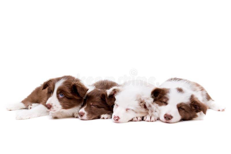 Cuatro perritos del border collie el dormir en fila imágenes de archivo libres de regalías