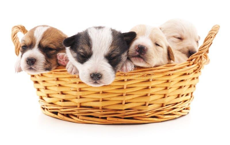 Cuatro perritos en una cesta imagen de archivo libre de regalías