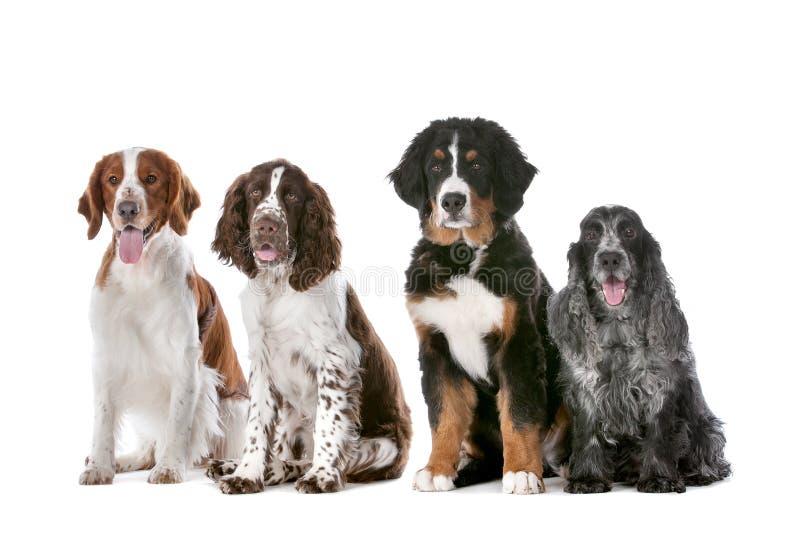 Cuatro perros en una fila imagen de archivo libre de regalías