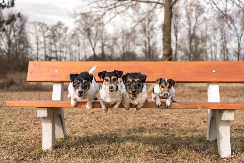 Cuatro perros que saltan de un banco de parque - terrier de Russell del enchufe fotos de archivo