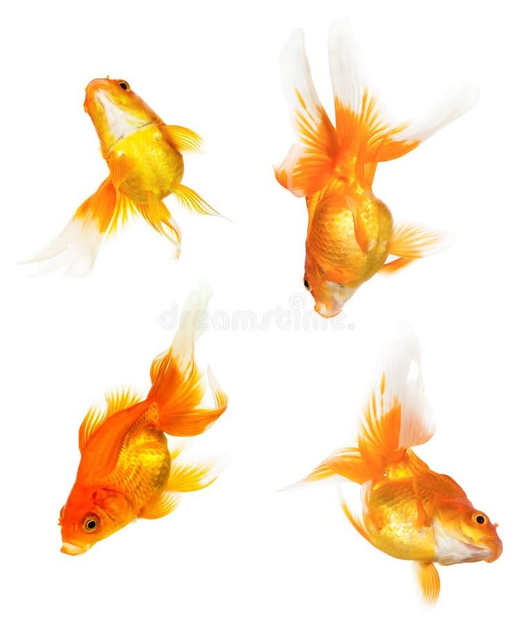 Cuatro pescados del oro fotografía de archivo libre de regalías