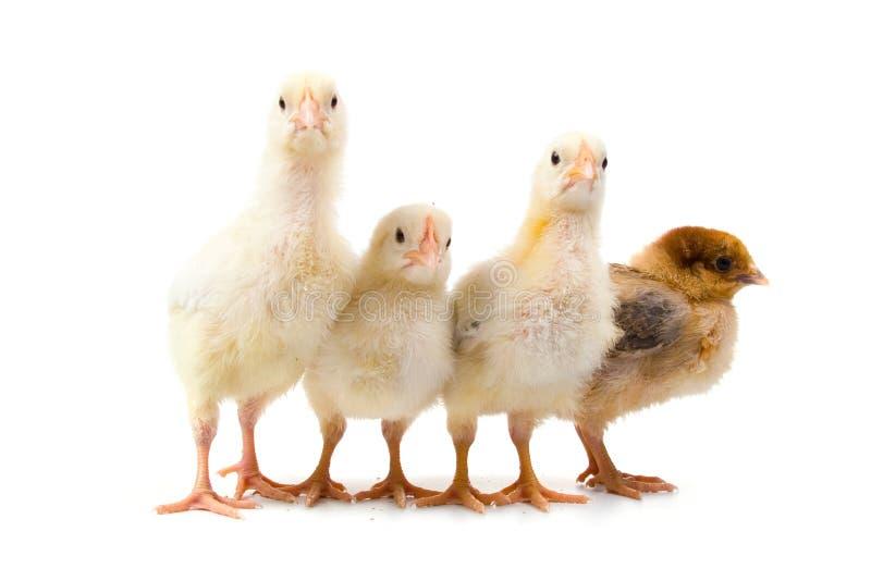 Cuatro pollos foto de archivo