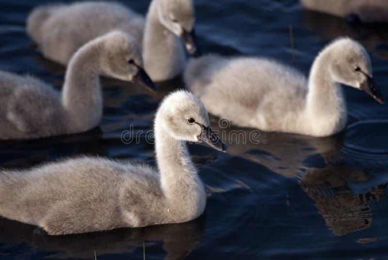 Cuatro pollos del cisne del cisne negro que nadan imagen de archivo libre de regalías