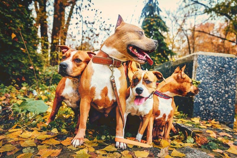 Cuatro terrieres de Staffordshire Perros de la familia de cuatro miembros que se sientan en naturaleza en otoño fotos de archivo libres de regalías