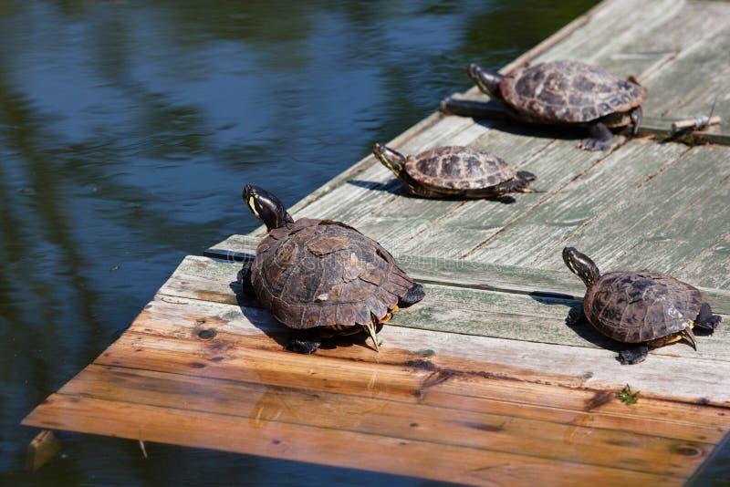Cuatro tortugas que toman un baño del sol imagen de archivo libre de regalías