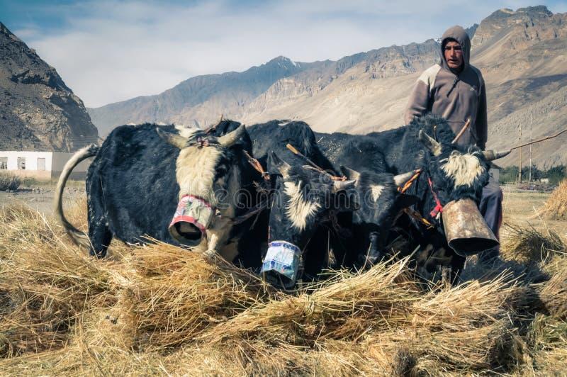Cuatro vacas en Tayikistán fotografía de archivo