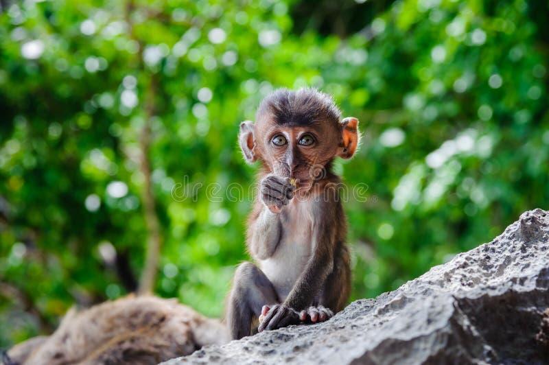 Cub猕猴属fascicularis坐岩石和吃 婴孩在发埃发埃海岛,泰国上胡闹 库存图片