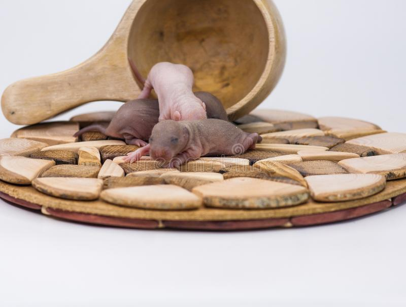 Cub鼠特写镜头 与闭合的眼睛的新出生的老鼠 免版税库存照片