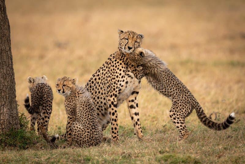 Cub鼻插入在草的猎豹在兄弟姐妹旁边 库存图片