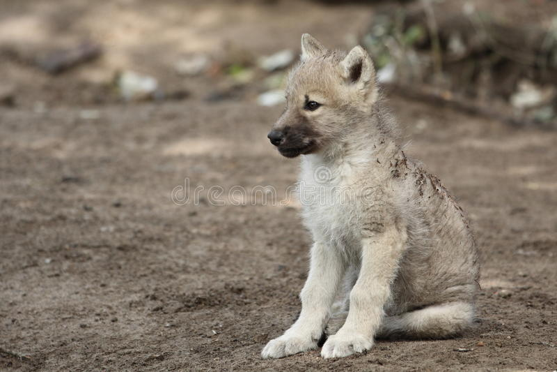 cub άσπρος λύκος στοκ εικόνες