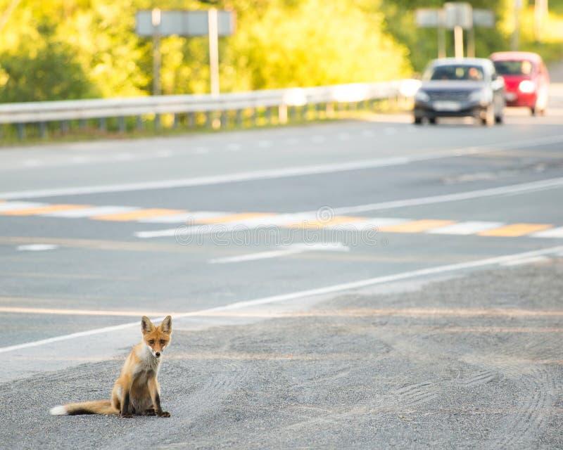 Cub αλεπούδων στην άκρη του δρόμου Καθμένος τρόφιμα αναμονής στοκ φωτογραφία με δικαίωμα ελεύθερης χρήσης