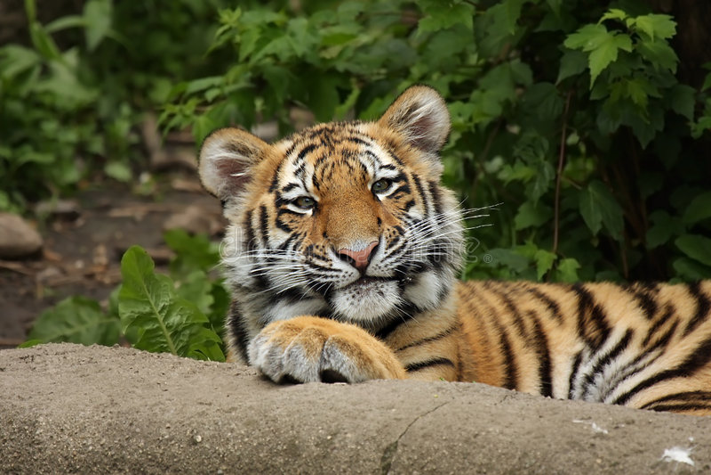 cub αστεία τίγρη στοκ φωτογραφία