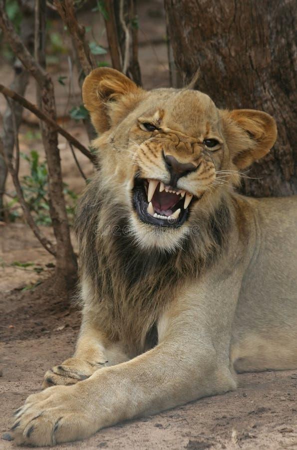 cub βρυχηθμός λιονταριών στοκ φωτογραφία με δικαίωμα ελεύθερης χρήσης