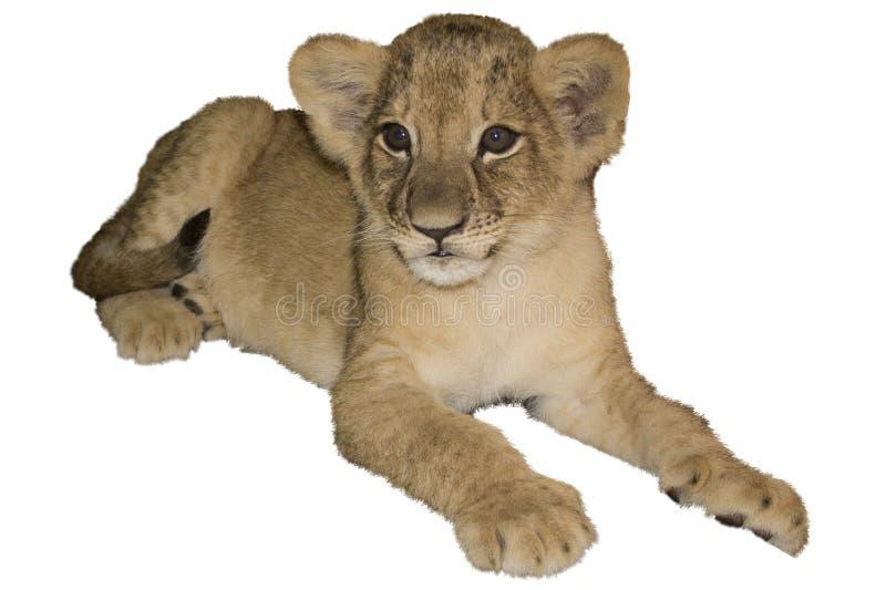 Cub λιονταριών, απομονωμένο λευκό στοκ εικόνες