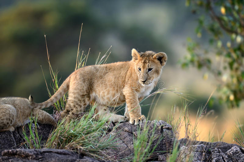Cub λιονταριών, εθνικό πάρκο της Κένυας, Αφρική στοκ εικόνα με δικαίωμα ελεύθερης χρήσης