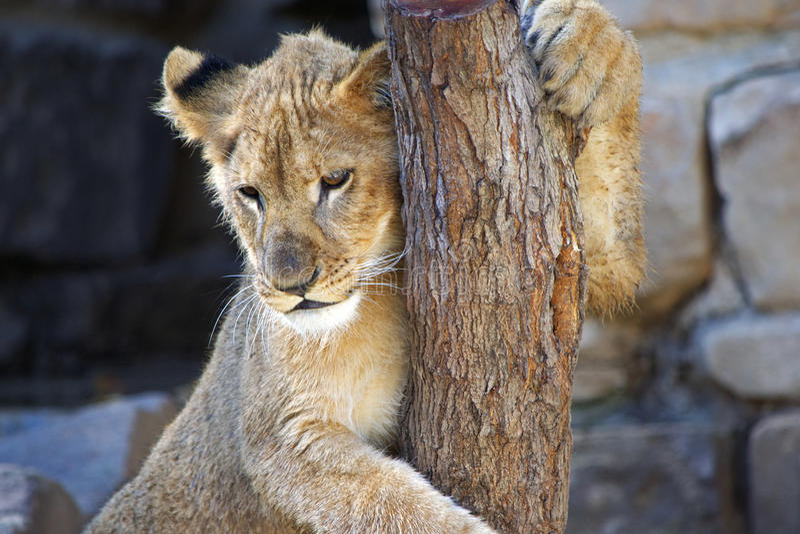 Cub λιονταριών μωρών ένωση στον κορμό δέντρων στοκ εικόνα με δικαίωμα ελεύθερης χρήσης