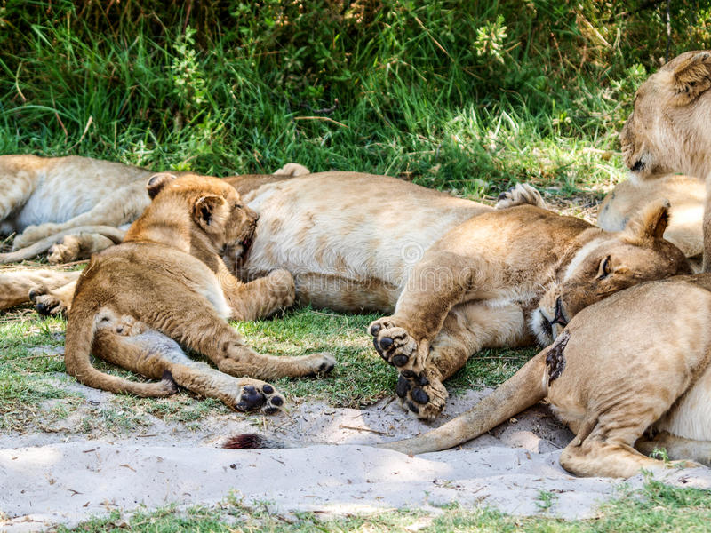 Cub λιονταριών περιποίηση στοκ εικόνα με δικαίωμα ελεύθερης χρήσης