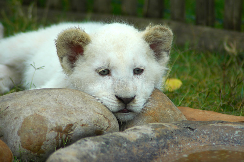 cub λευκό λιονταριών στοκ φωτογραφία με δικαίωμα ελεύθερης χρήσης