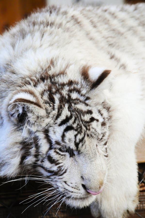 cub λευκό τιγρών στοκ φωτογραφία με δικαίωμα ελεύθερης χρήσης