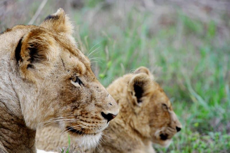 cub λιονταρίνα στοκ εικόνες με δικαίωμα ελεύθερης χρήσης