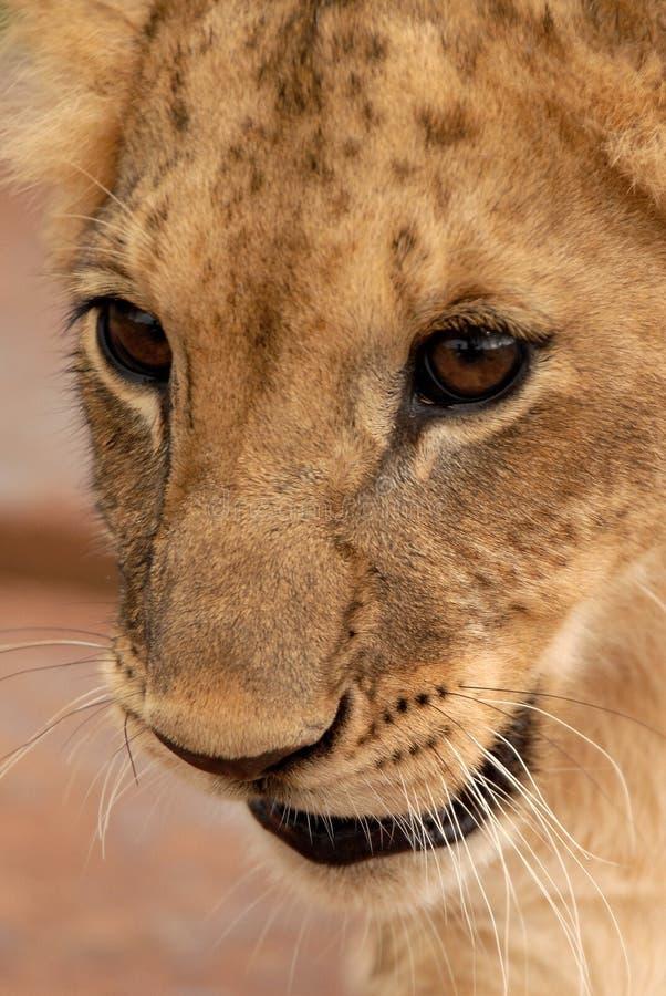 Cub λιονταριών, Νότια Αφρική στοκ εικόνα με δικαίωμα ελεύθερης χρήσης