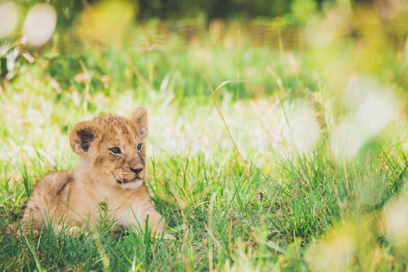 Cub λιονταριών χαλαρώνει στη χλόη σε Masai Mara στην Αφρική στοκ εικόνες
