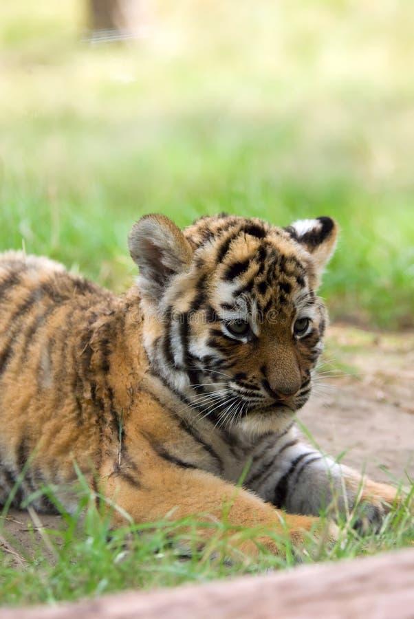 cub σιβηρική τίγρη στοκ φωτογραφία με δικαίωμα ελεύθερης χρήσης