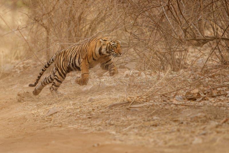 Cub τιγρών που τρέχει στη ζούγκλα στοκ εικόνα με δικαίωμα ελεύθερης χρήσης