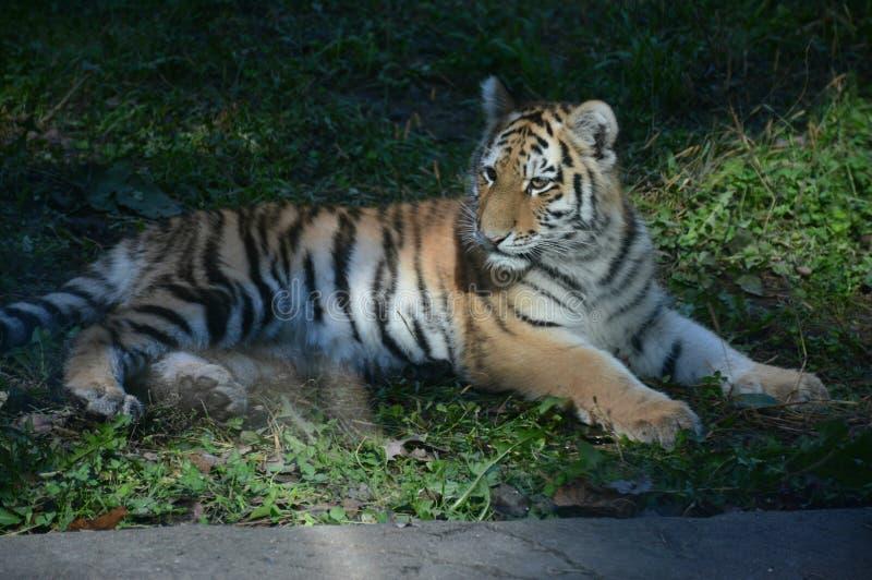 Cub τιγρών χαλάρωσης σιβηρικό στοκ φωτογραφίες
