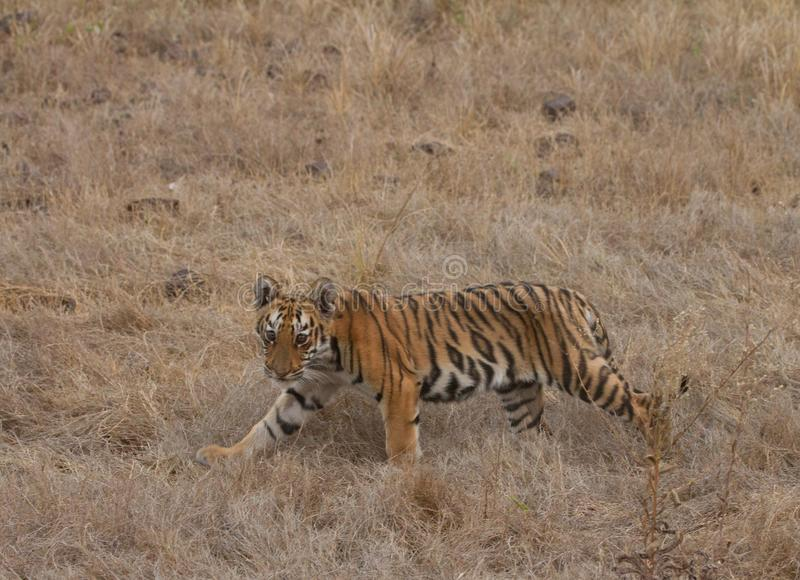 Cub τιγρών στοκ φωτογραφία με δικαίωμα ελεύθερης χρήσης