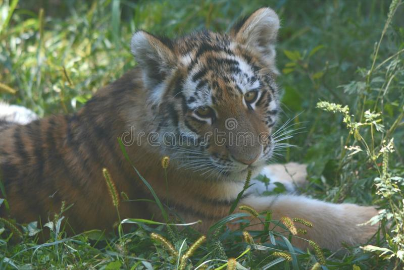 Cub τιγρών Amur κινηματογράφηση σε πρώτο πλάνο στοκ εικόνες