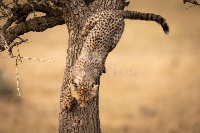 Cub τσιτάχ αναρριχείται αργά κάτω από το δέντρο αγκαθιών στοκ φωτογραφία