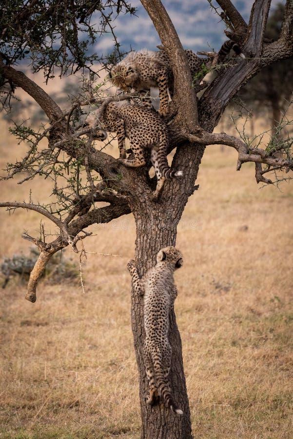Cub τσιτάχ ενώνει δύο άλλων στο δέντρο στοκ εικόνες με δικαίωμα ελεύθερης χρήσης
