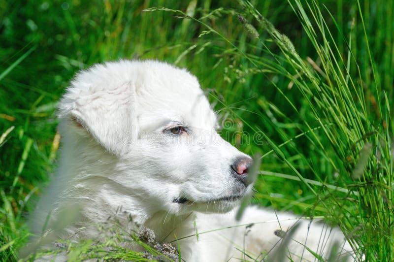 cub τσοπανόσκυλο maremma χλόης στοκ εικόνα