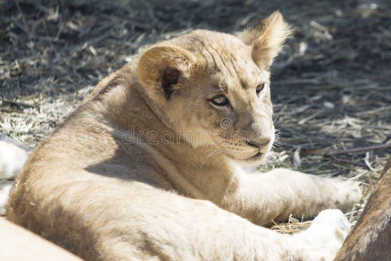 cub χαριτωμένο λιοντάρι στοκ εικόνες