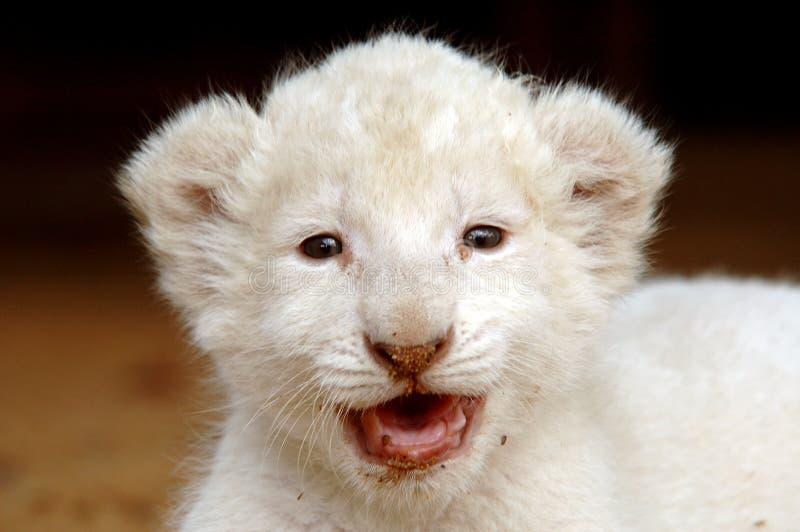 Download Cub белизна льва стоковое фото. изображение насчитывающей мясоед - 483298