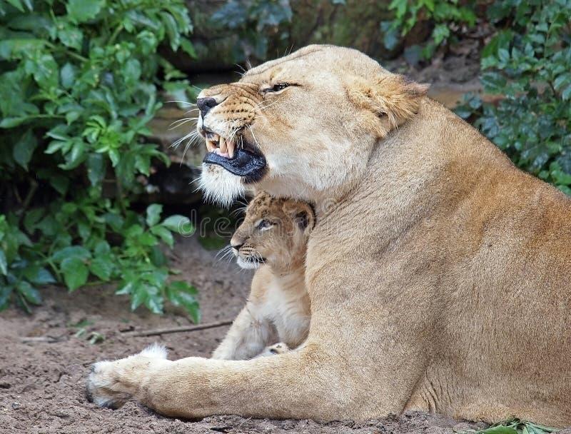 cub ее львица стоковое фото rf