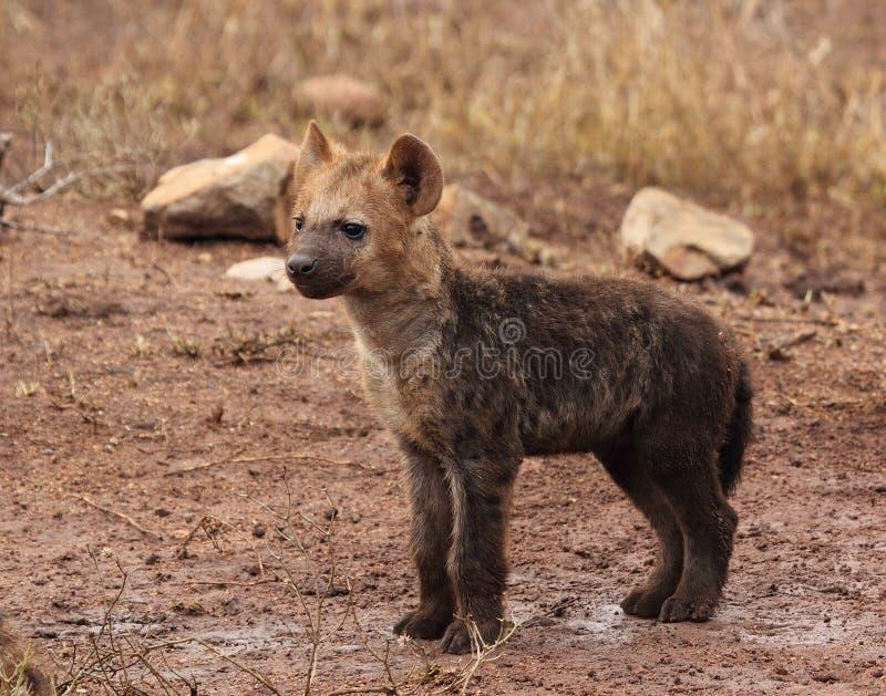 布朗鬣狗Cub 免版税库存照片